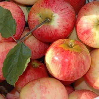 Все яблони на полукарликовом подвое